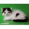 Продажа породистых персидских и экзотических котят