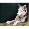 Пропала собака хаски Наро-Фоминск