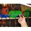 Птенцы-выкормыши благородного попугая