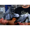 Птенцы-выкормыши Серого Африканского Попугая.