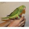 Птенцы ожерелового попугая выкормыши