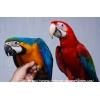 Птенцы выкормыши – Сине-Желтый Ара,  Зеленокрылый Ара,  Ара Макао.