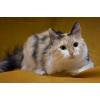 Пушистая трехцветная красота,  кошка-удача!  в дар