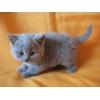 Родились британские котята голубого окраса