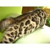 Роскошные Бенгальские котята по доступным ценам