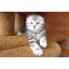 Роскошные мраморные шотландские котята