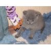 Роскошный британский голубой котенок,  м.  Ясенево (14000) .