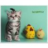 Ручные британские котята из питомника