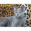Русский голубой котенок