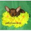 Русский той терьер продажа щенков,  Эксклюзивные щенки той-терьера