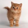 Рыжее британское солнышко (девочка)  – 2 месяца