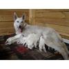 щенки Белой Швейцарской овчарки