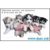 щенки Хаски,   2 м,   черно-белые и серо-белые (волчий тип)