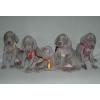щенки веймаранера - родились 17. 04. 2011