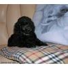 Щенок карликового пуделя черного окраса девочка от Джентли Борн