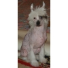 Щенок китайской хохлатой собачки продается!