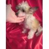Щенок китайской хохлатой собаки,  голая девочка14000