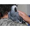 Серый Африканский Попугай Жако (Краснохвостый Жако)  – птенцы выкормыши
