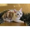 Шотландская кошечка редкого окраса - Калико