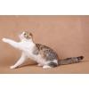 Шотландские  котята оригинальных окрасов