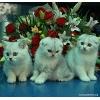Шотландские котята шоу класса