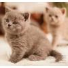 Шотландские вислоухие и прямоухие котята голубого окраса