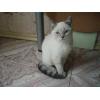 Шотландский голубоглазый котёнок