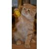 Шотландский вислоухий котенок - рыжий котик