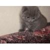 Шотландский вислоухий  котенок,  Ясенево,  15000 р.