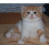 Шотл/висл.   ,   скоттиш страйт,   хайленд страйт и фолд  котята