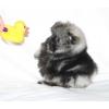 Шпиц миниатюрный и малый щенки разного окраса
