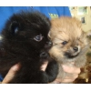 Шпиц миниатюрный и малый щенки разных окрасов