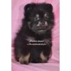 Шпиц миниатюрный немецкий (померанский)  черно-подпалые щенки