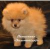 Шпиц миниатюрный немецкий (померанский)   щенки