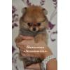 Шпиц миниатюрный немецкий (померанский)   щенки редких окрасов купить