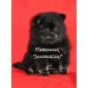 Шпиц померанский миниатюрный черно-подпалый щенок мальчик