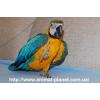 Сине-желтой ара и другие виды