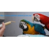 Сине-желтый Ара,  Зеленокрылый ара а также другие виды