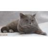 Скоттиш страйт, Британские  коты вязка
