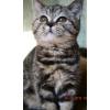 Срочно недорого британские котята