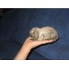 Супер карликовые,   вислоухие крольчата с родословно