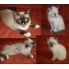 СВЯЩЕННАЯ БИРМА 3 котика 2 месяца