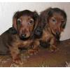 Такса кроличья и миниатюрная длинношерстная щенки-мальчики