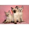 Тайские котята (старотипные сиамские)