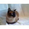 Тайский/cиамский кот приглашает на вязку