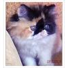 Трехцветная Персидская кошечка