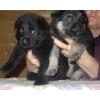 ВЕО черные и чепрачные щенки