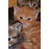 Вислоухие,  британские  котята - разные цены