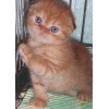 Вислоухие,  британские котята - разные окрасы в Москве