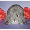 Вислоухие карликовые крольчата-барашки из питомника